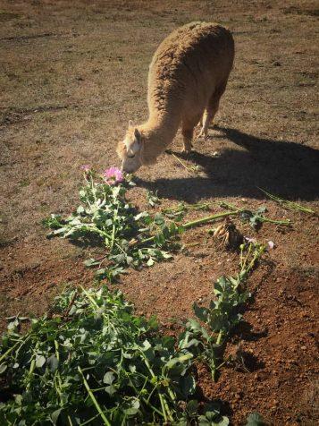 Our Farm Alpacas - fleurs de lyonville