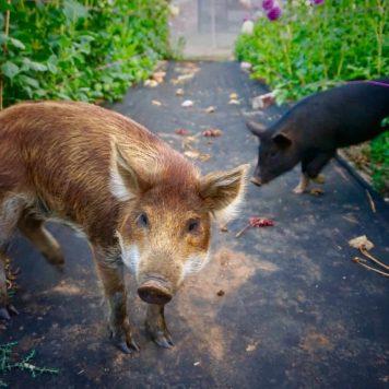 Our Farm - Pigs - fleurs de lyonville