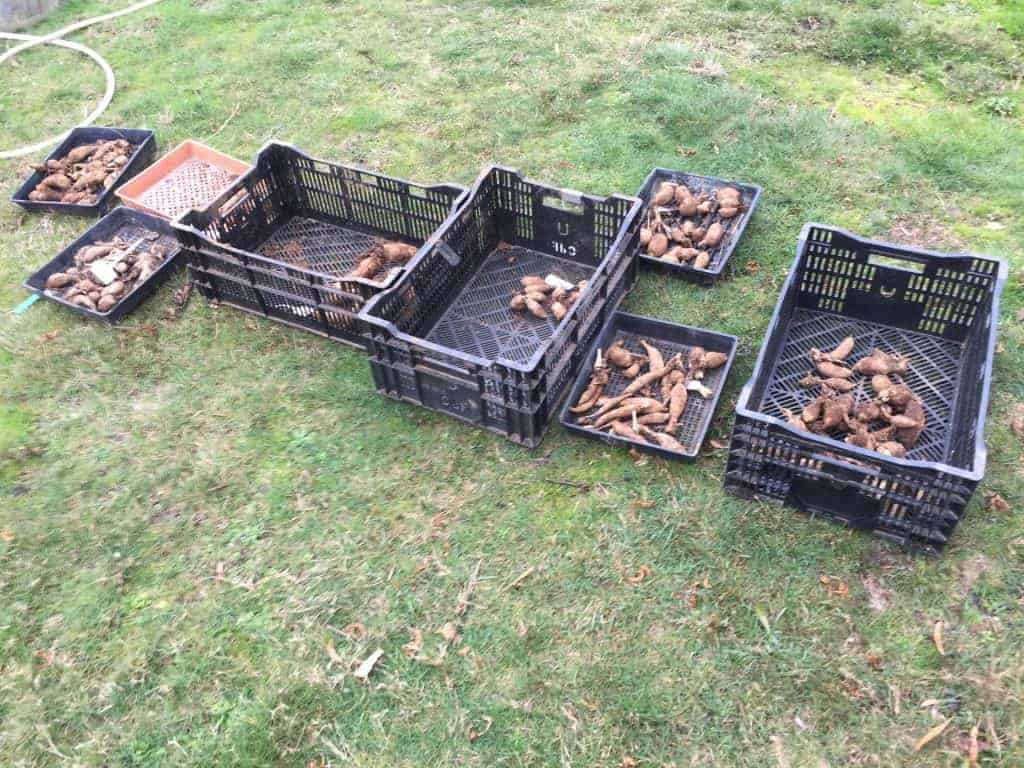 dahlia tubers in baskets on the ground